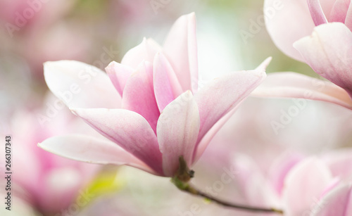 Flower Magnolia flowering against a background of flowers. Wallpaper Mural