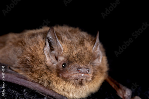 Fotografía European bat the Nathusius' pipistrelle (Pipistrellus nathusii) on a black backg