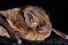 European Bat The Nathusius' Pi...