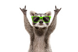 Fototapeta Zwierzęta - Funny raccoon in green sunglasses showing a rock gesture isolated on white background