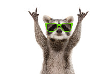 Funny Raccoon In Green Sunglas...
