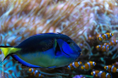 Fotografie, Tablou  Paracanthurus hepatus, famous exotic fish in aquarium