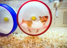 Hamster Running On An Exercise...