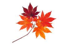 Japanese Maple Tree Red Autumn Branch Isolated On White