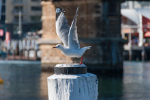 Silver Gull, Seagull Taking Of...
