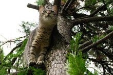 Young Tabby Cat On Branch Of A Tree - From Below