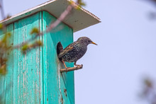 Starling Female Sitting On The...