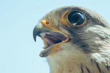 Common Kestrel Portrait Beak W...