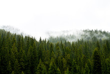 Foggy Forest Background. Tree Tops  In A Thick Fog. Nature  Background