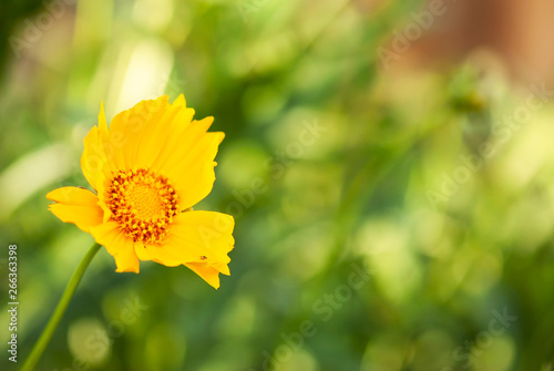 Yellow Coreopsis with Green Background