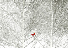 A Cardinal Is Seen In A Tree I...