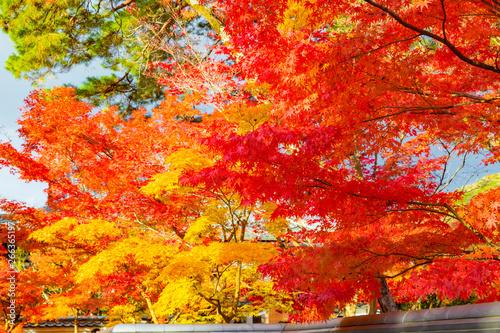 京都の紅葉 秋・観光 - 266365197