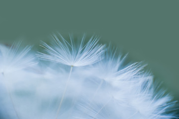 Beautiful dew drops on a dandelion seed macro. Water drops on a parachutes dandelion. Copy space. soft focus on water droplets. circular shape, abstract background