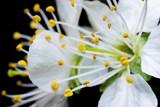 Zbliżenie na kwitnący kwiat wiśni