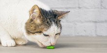 Curious Tabby Cat Licking On A Green Medicine Capsule On The Table.