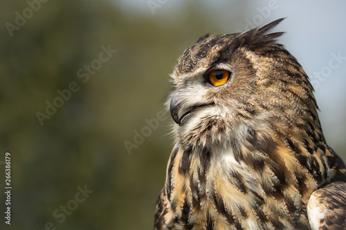 Fotobehang Uil Horus a stunning male Eurasian Eagle Owl taken at my visit to @fensfalconry. I have 5 photography workshops running there next year.