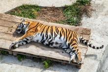 Sleeping Tiger On Grass In Natural Habitat