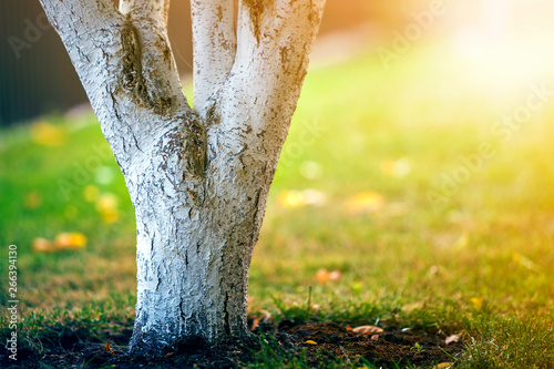 Foto auf Leinwand Gelb Schwefelsäure Whitewashed bark of tree growing in sunny orchard garden on blurred green copy space background.