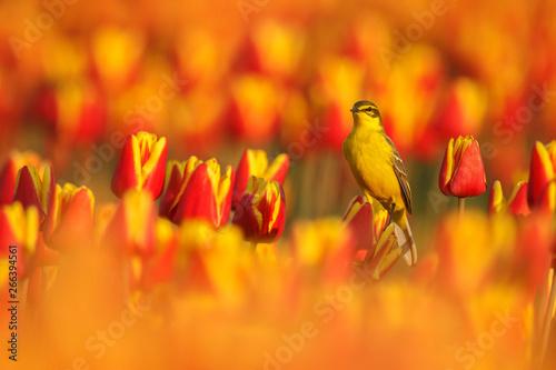 Photo  Yellw wagtail Sits on Dutch tulips