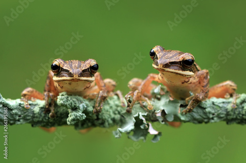 "Two tree frogs sit on the moldy branch ""Polypedates leucomystax"""
