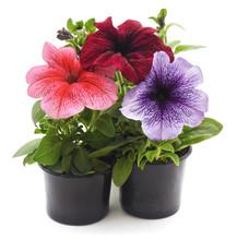 Three Petunias In Pots.