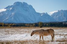 A Horse Grazing In A Snowy Field