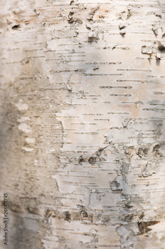 Vertical Image: White Brown Trunk of Birch Tree Texture, Elegant Wooden Background with Copy Space for Text. - 266401745
