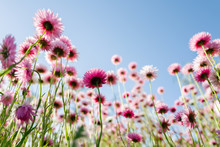 Paper Daisies And Blue Sky Viewed From Below