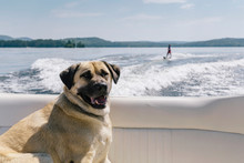 Dog Hanging Out On The Waterskiing Boat