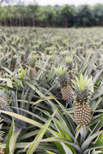 A Pineapple Plantation