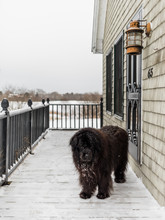 A Newfoundland Dog Sits In The Snow In Maine.