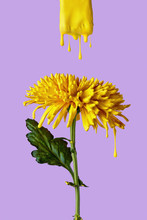 Yellow Chrysanthemum With Drop...
