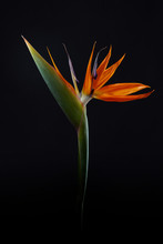 Fresh Exotic Strelitzia Flower Isolated On A Black Background