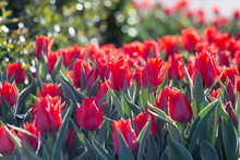 Red Tulips In The Evening On The City Flower Bed