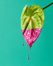 Green Anthurium Colored Pink P...