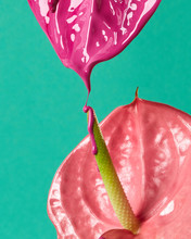 Flamingo Flower Or Anthurium W...