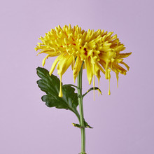Chrysanthemum Painted With Yellow Paint On A Purple Background