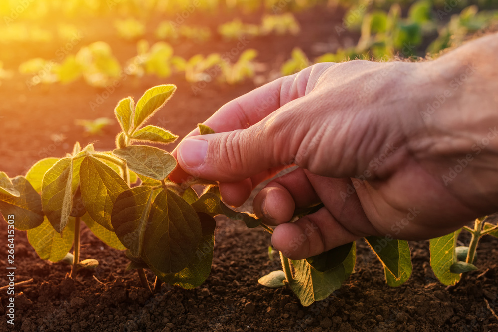 Fototapeta Farmer examining young green soybean crop plant
