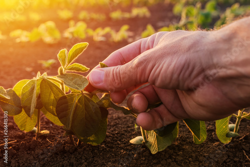 Farmer examining young green soybean crop plant Wallpaper Mural