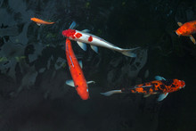 The Beautiful Koi Fish Swimming In Dark Pool,Fancy Carps Fish Or Koi Swim In Pond In The Garden