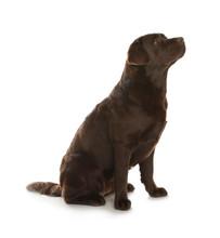 Chocolate Labrador Retriever Sitting On White Background