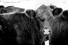 Black Cow In A Winter Field, U...