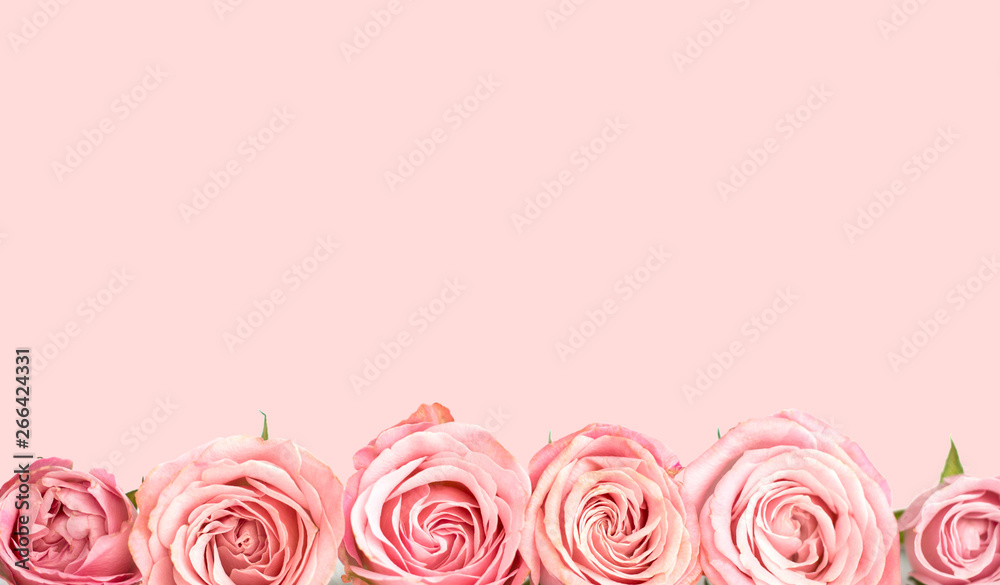 Fototapety, obrazy: Pink roses on the pink background. Flower card