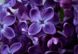 canvas print picture - Beautiful purple lilac flowers. Macro photo of lilac spring flowers.