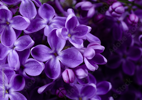 Beautiful purple lilac flowers. Macro photo of lilac spring flowers. - 266427712