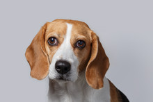 Head Of Beagle. Close-up Of Be...