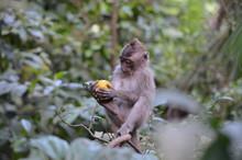 Baby Balinese Long-tailed Monk...