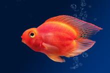Aquarium Fish Red Parrot On Blue Background