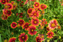 Cluster Of Red And Yellow Indian Blanket Flowers
