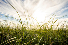 Close Up Of Long Blades Of Grass Blowing In The Wind Near The Ocean.